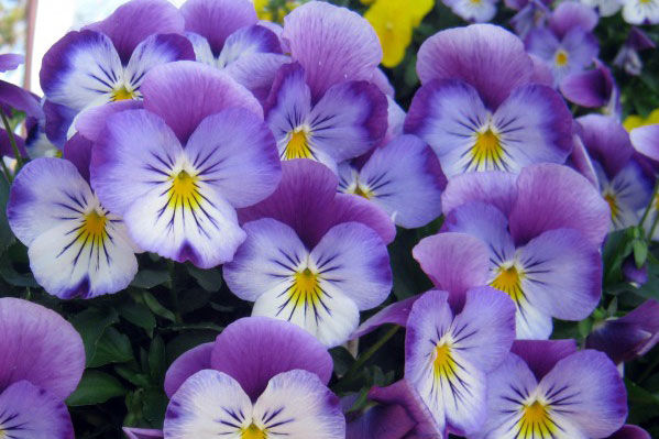 Plant These New Pansies Now!