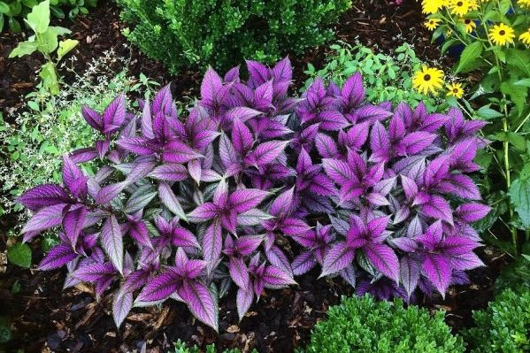 Get Your Gaudy On With Persian Shield