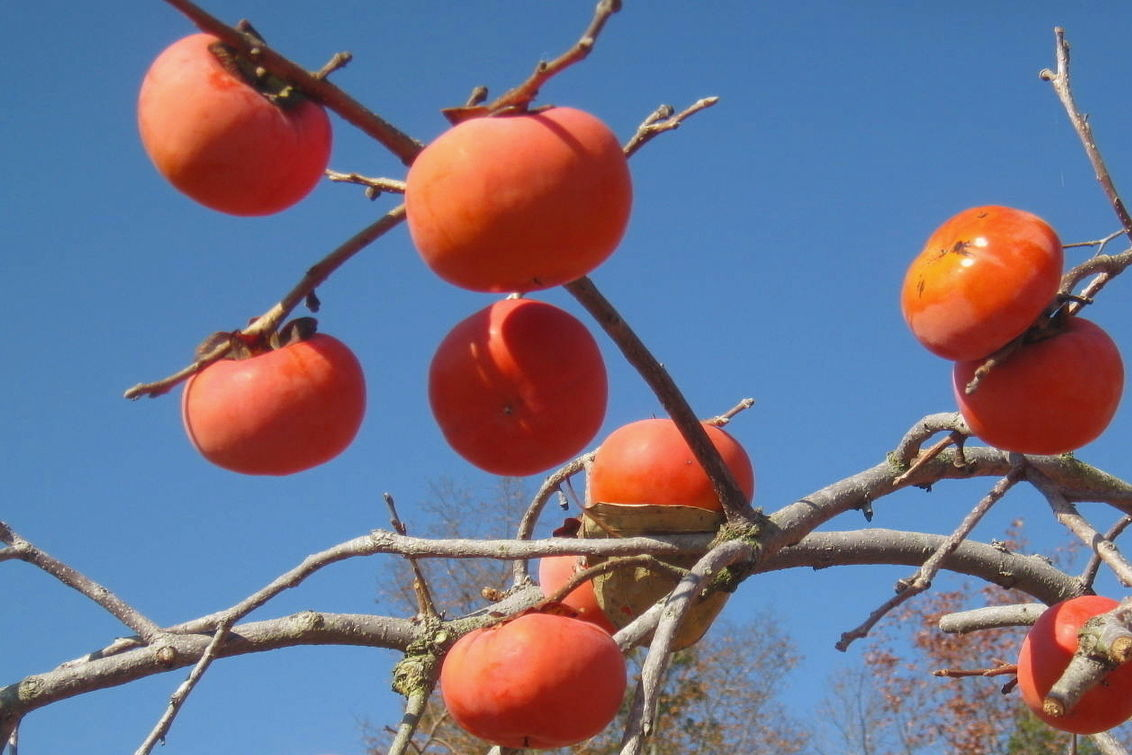 Plant A Persimmon!
