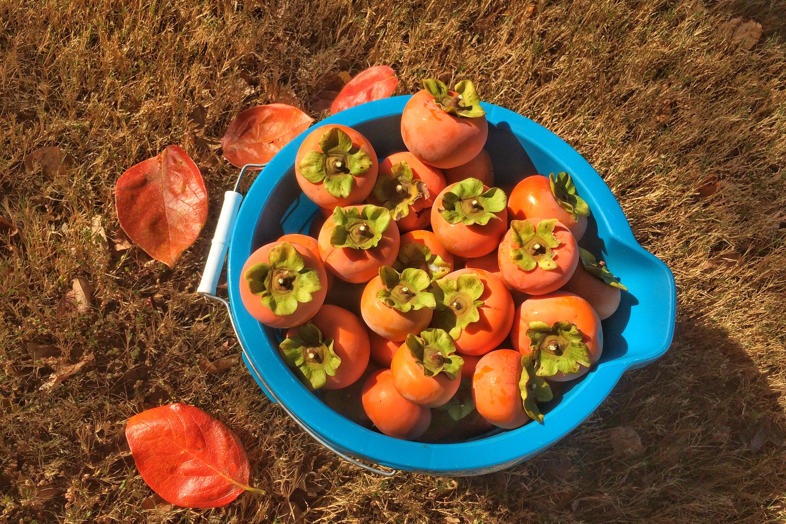 Persimmons by the  Bucket