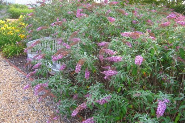 Not Your Mama's Butterfly Bush