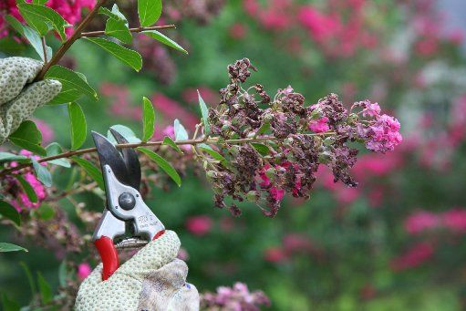 Should I Prune Off Crepe Myrtle Seeds?