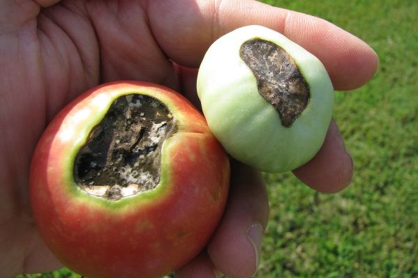 My Rotten Heirloom Tomatoes