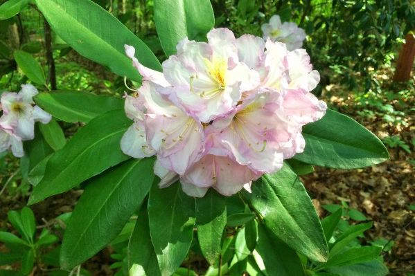 Growing Rhododendrons in the South