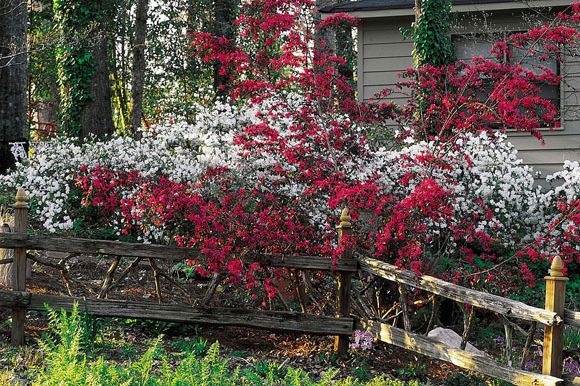 When to Prune Loropetalum