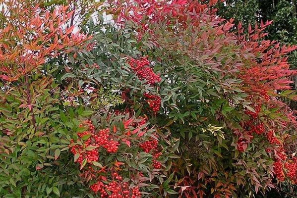 When Is It Safe To Transplant Nandina?
