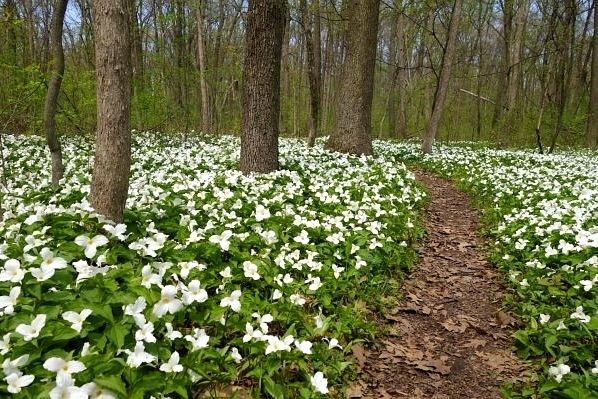 Try Some Trilliums
