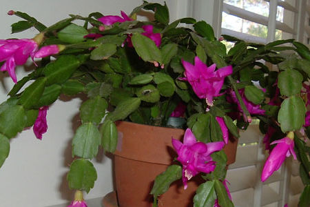 The Perfect Holiday Plant -- Christmas Cactus