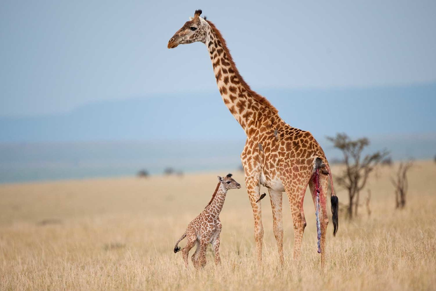 The Giraffe Could Soon Be Considered an Endangered Species