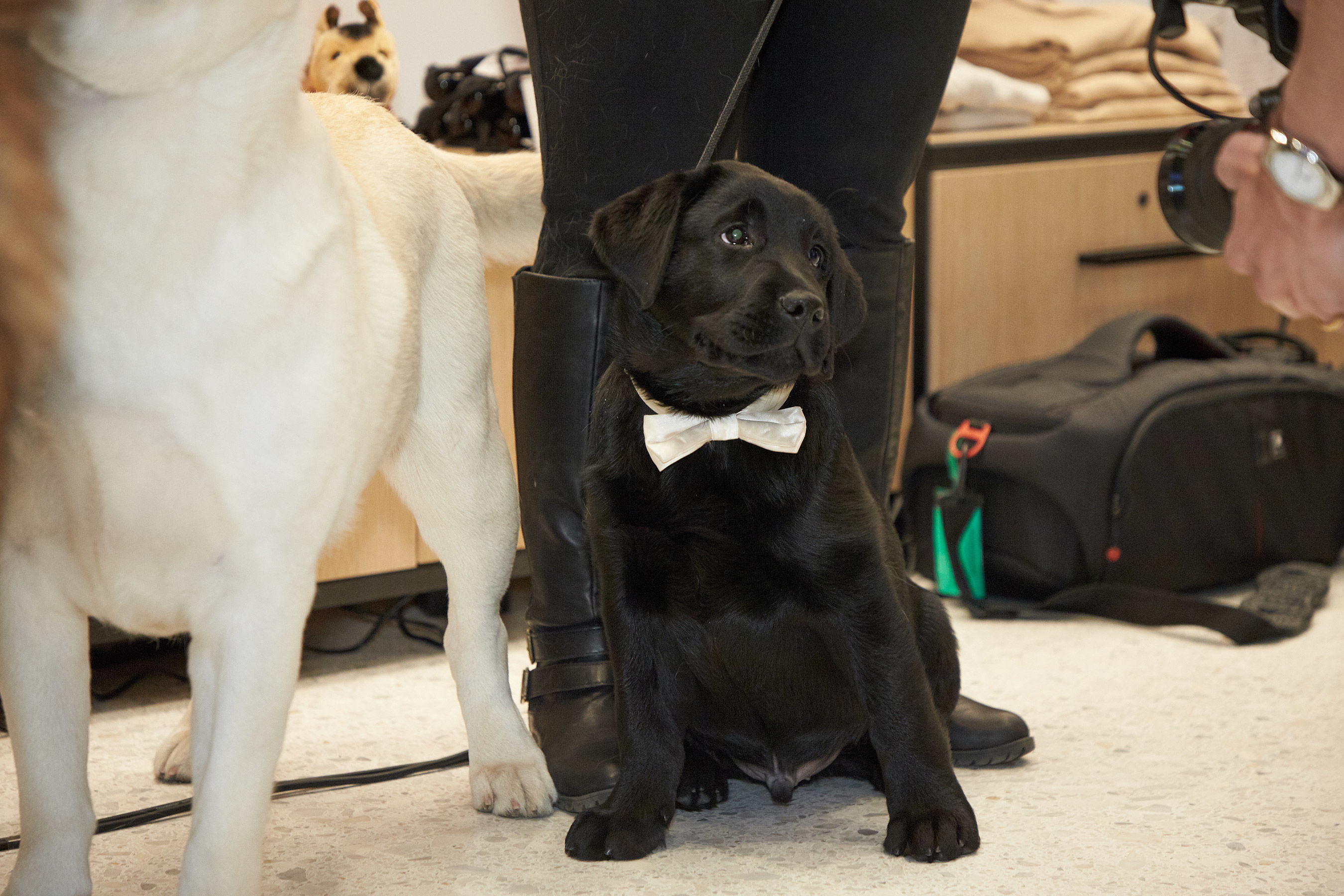 Labrador Retriever Named the Most Popular Dog Breed for 28th Consecutive Year