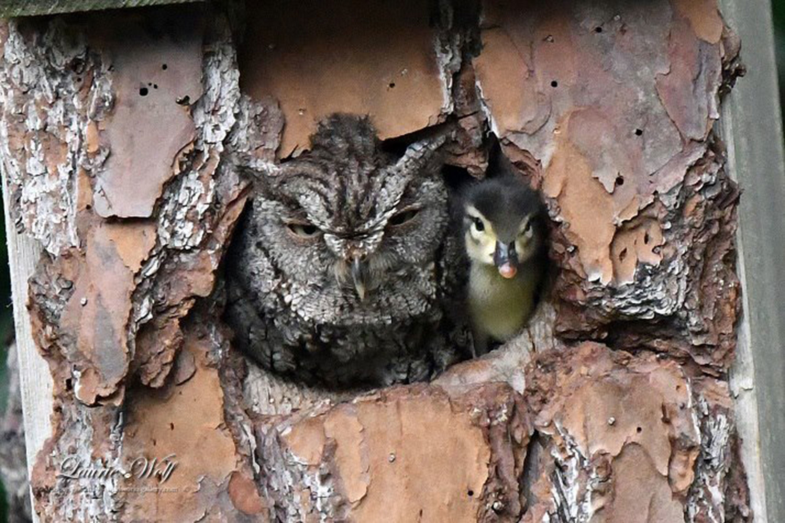 Who's Your Mommy? Why A Screech Owl Helped a Wood Duck Hatch and Raise Her Duckling
