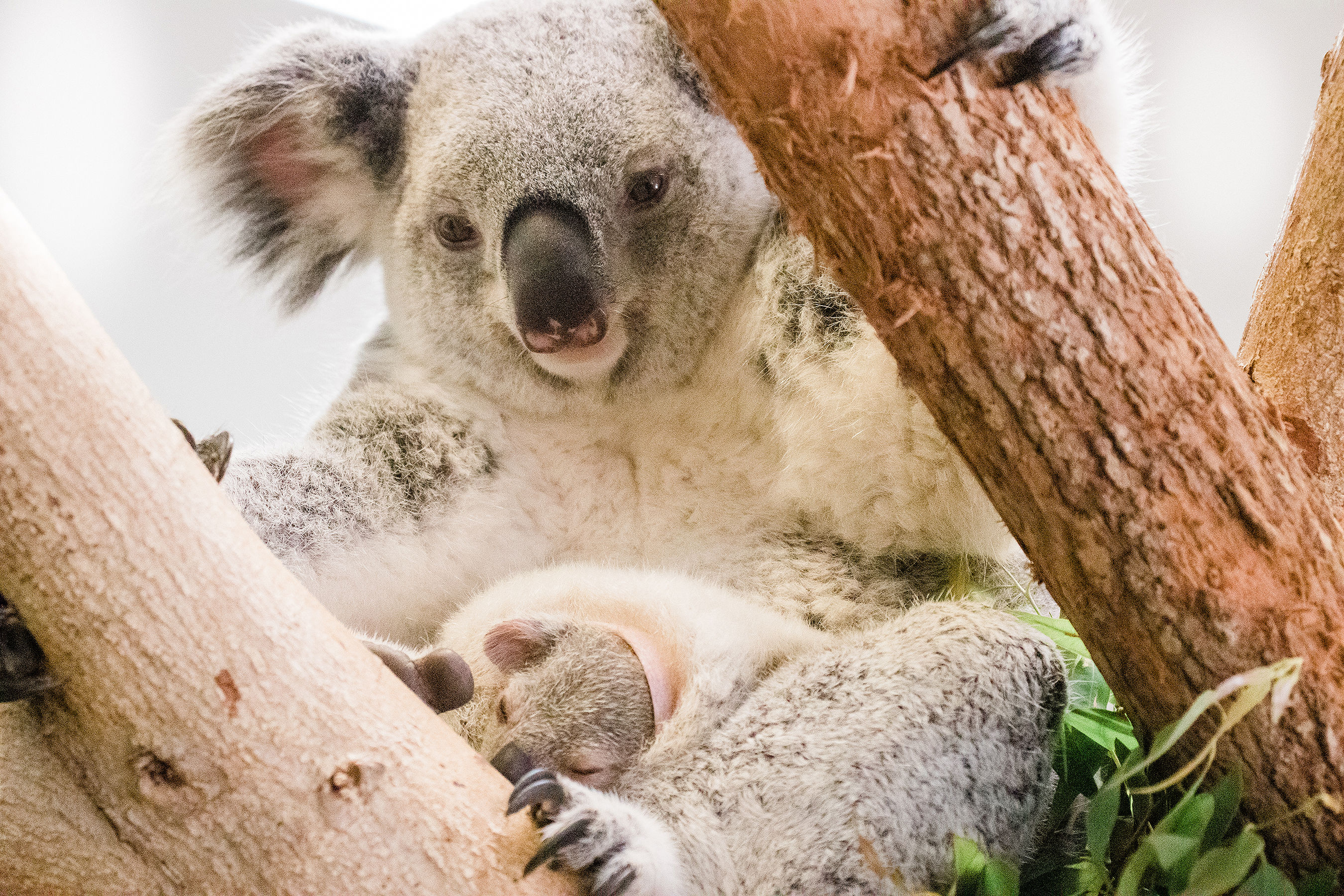 Florida Zoo Koala Joey Emerges from Mother's Pouch for the First Time Looking Picture Perfect