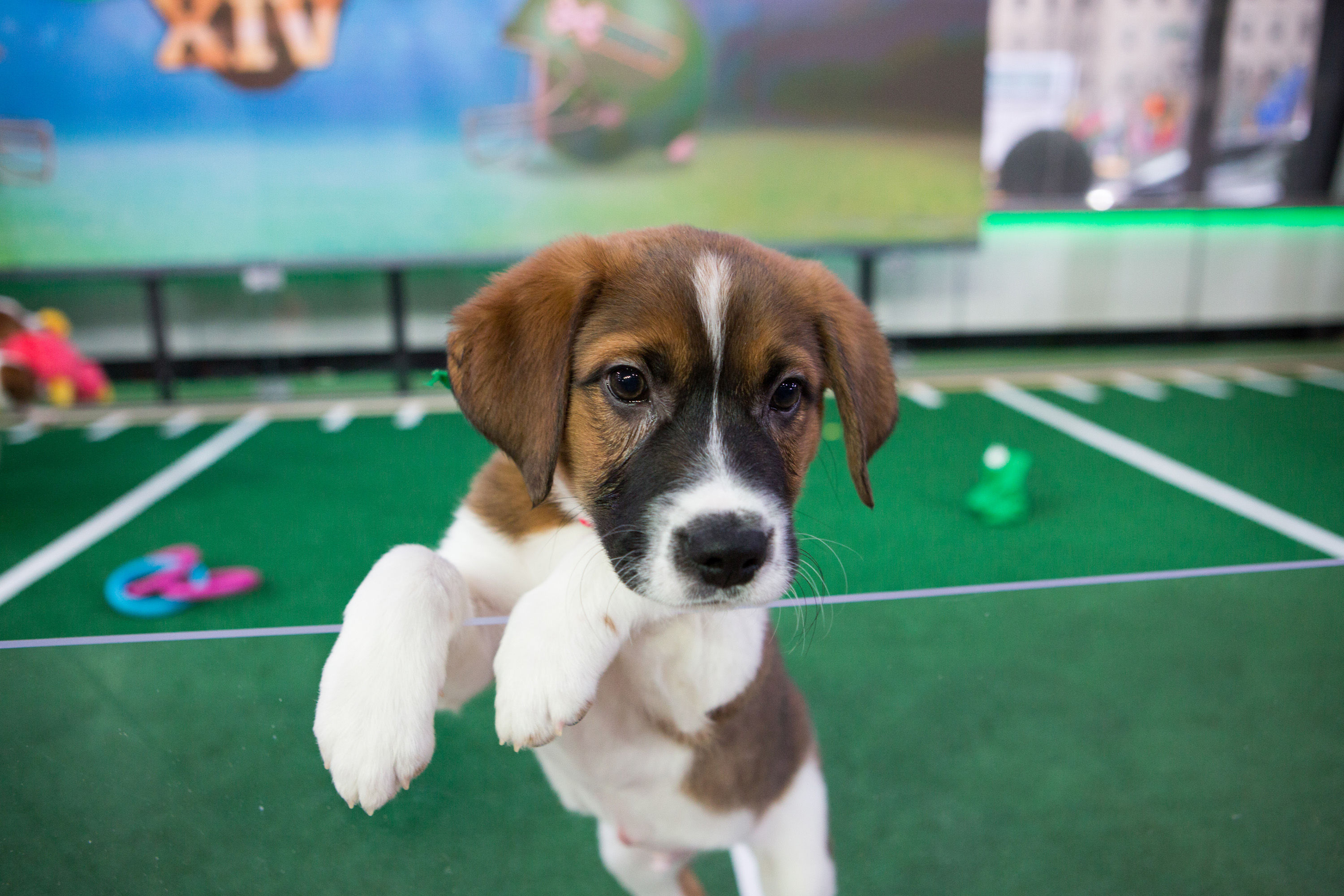 Hurricane Rescue Dogs Will Steal the Show at the 2018 Puppy Bowl. Here's Everything You Need to Know Now