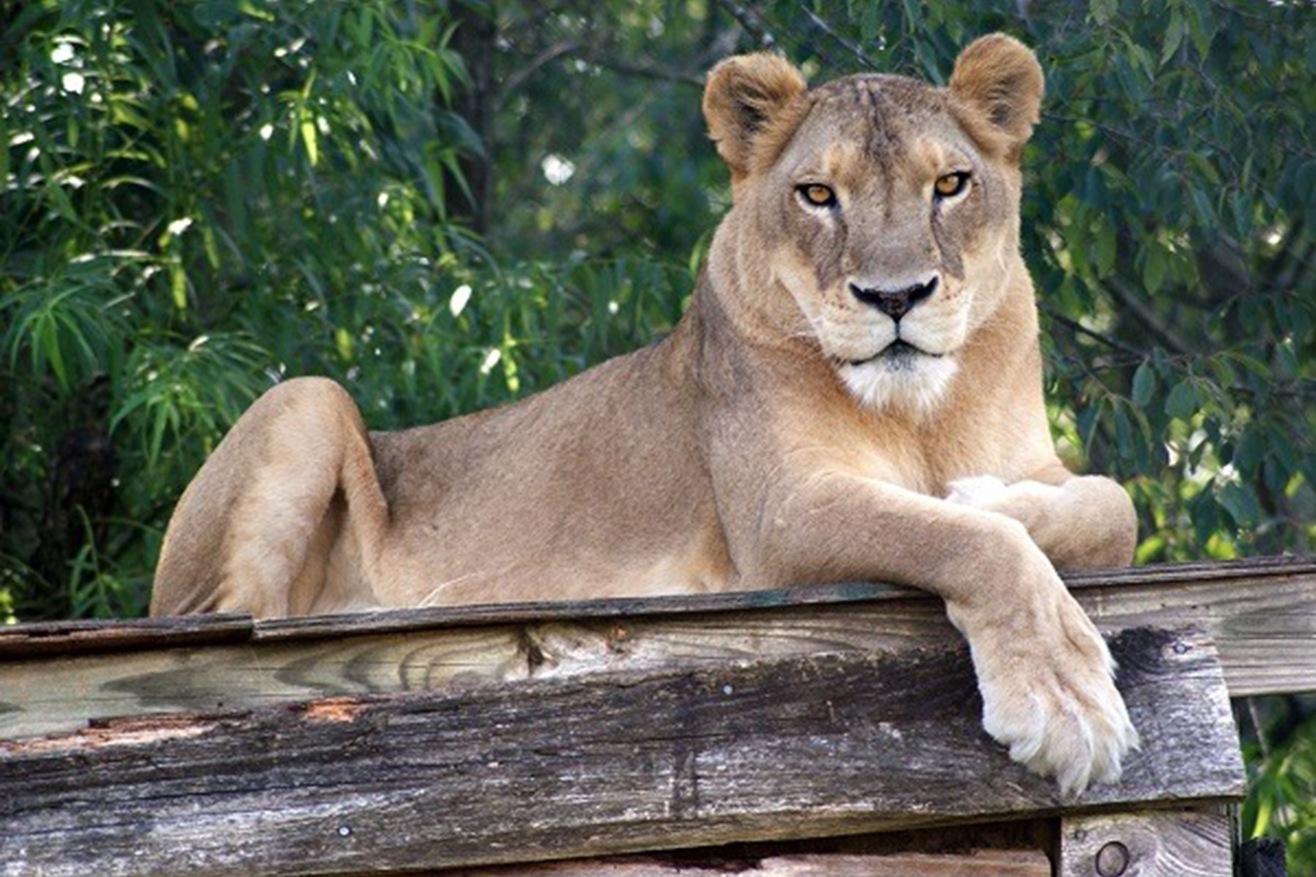 Lion in North Carolina Wild Cat Sanctuary Dies During Heat Wave
