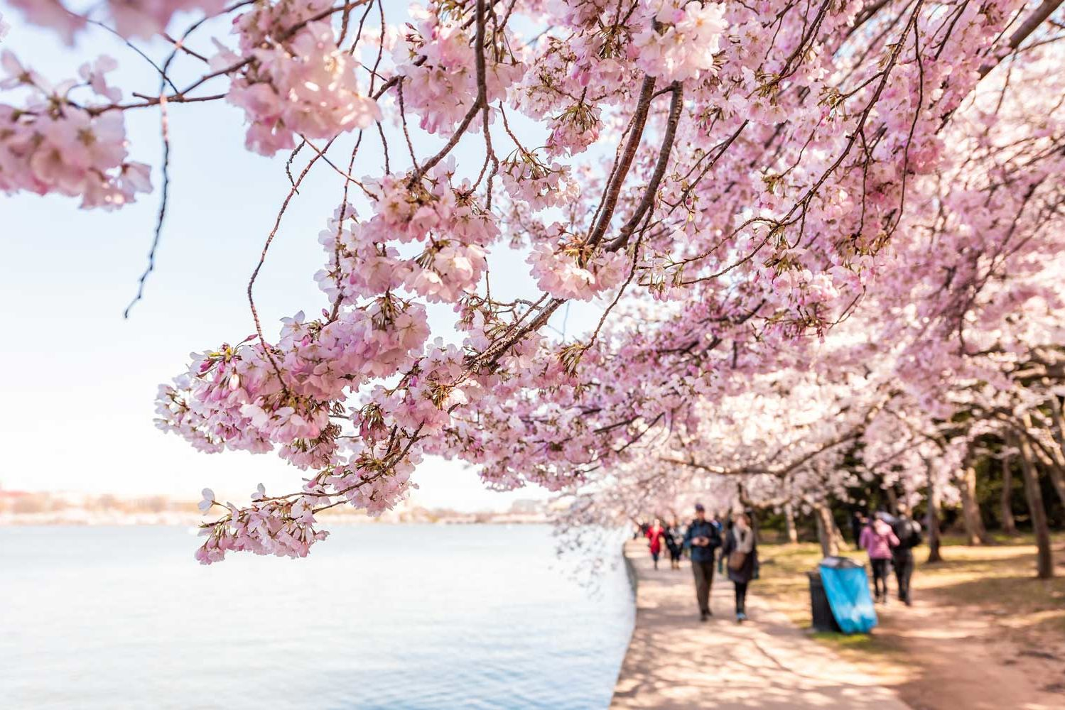 Here's When the Cherry Blossoms Will Reach Peak Bloom in Washington D.C.