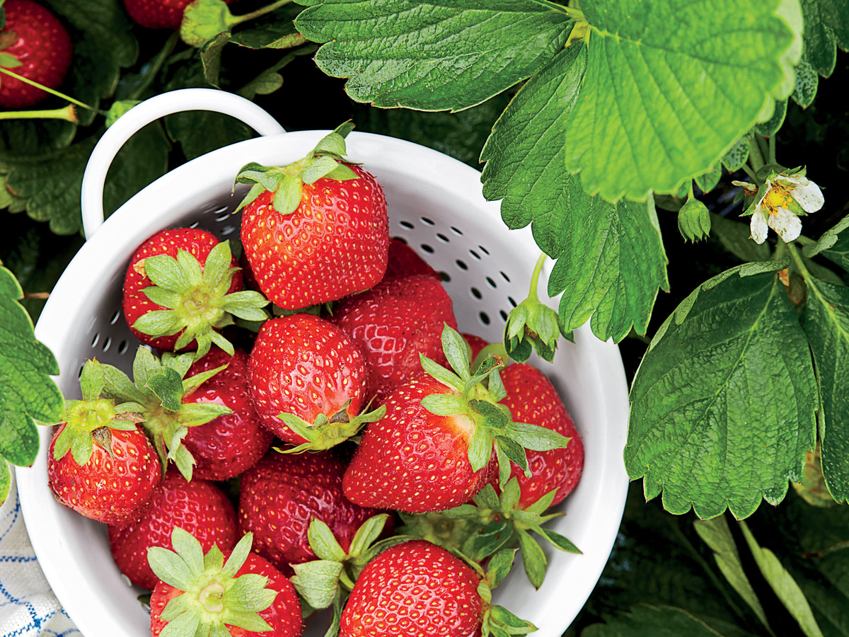 Best strawberries to grow in texas - Sweet On Strawberries