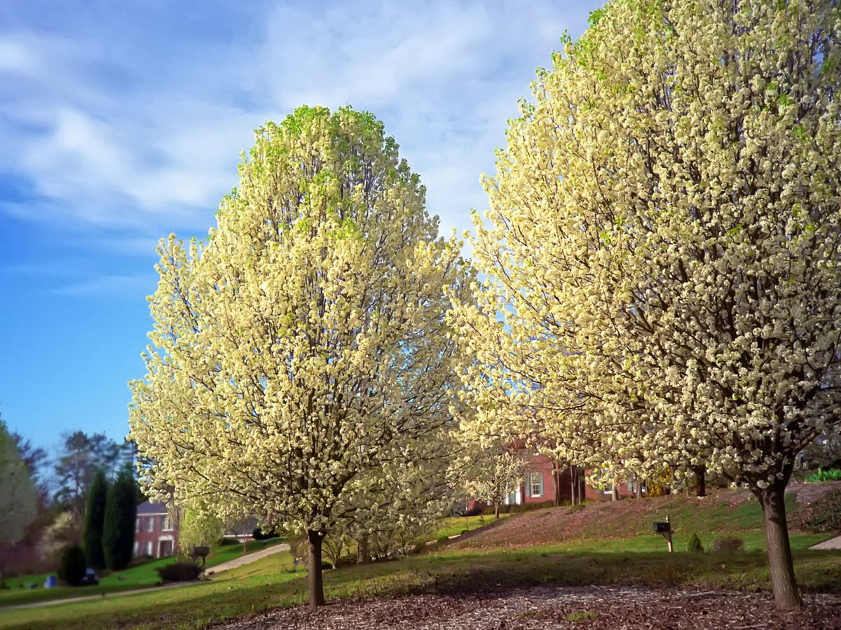 Getty Bradford Pear Image