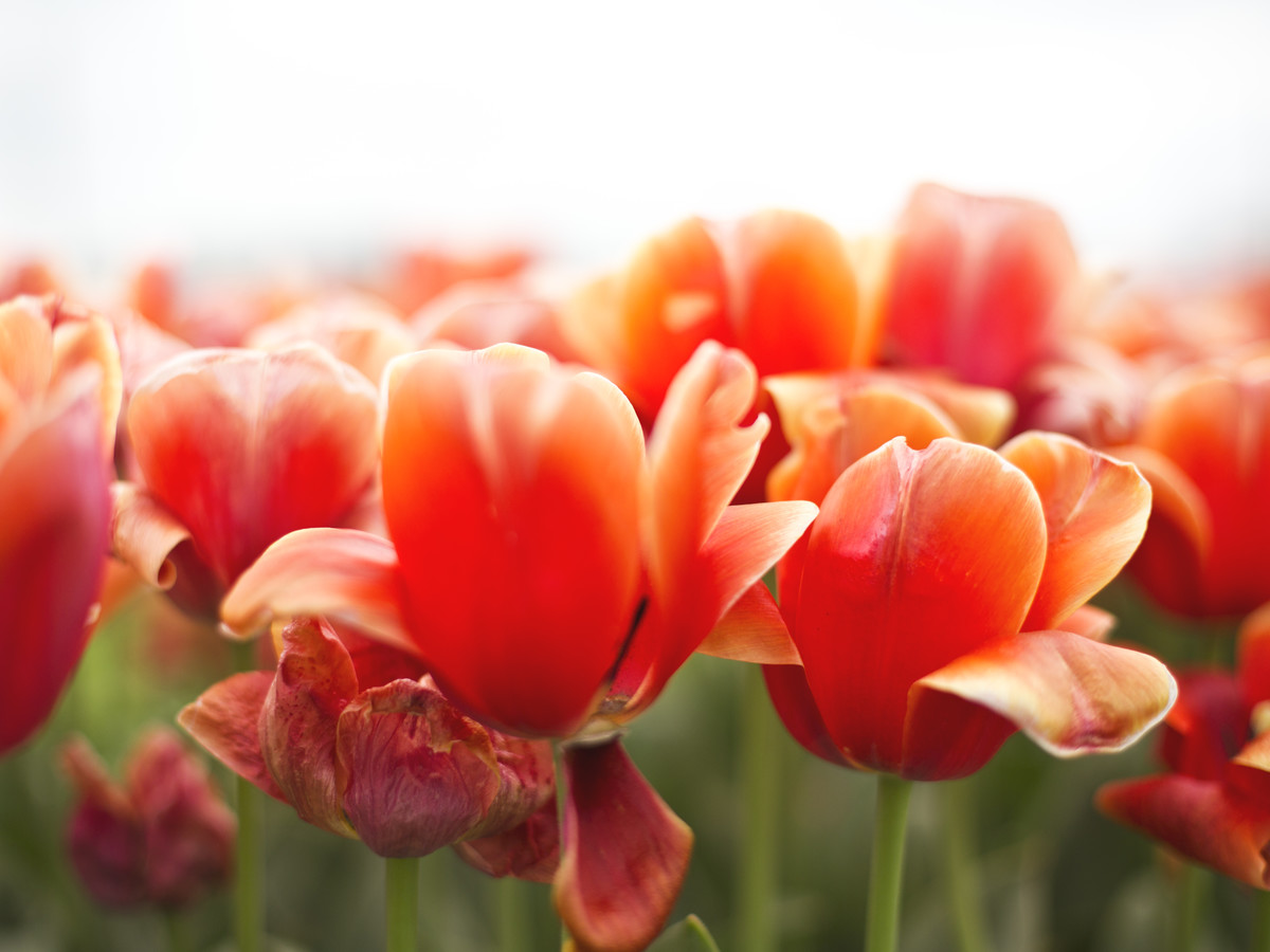 Tulips in Field