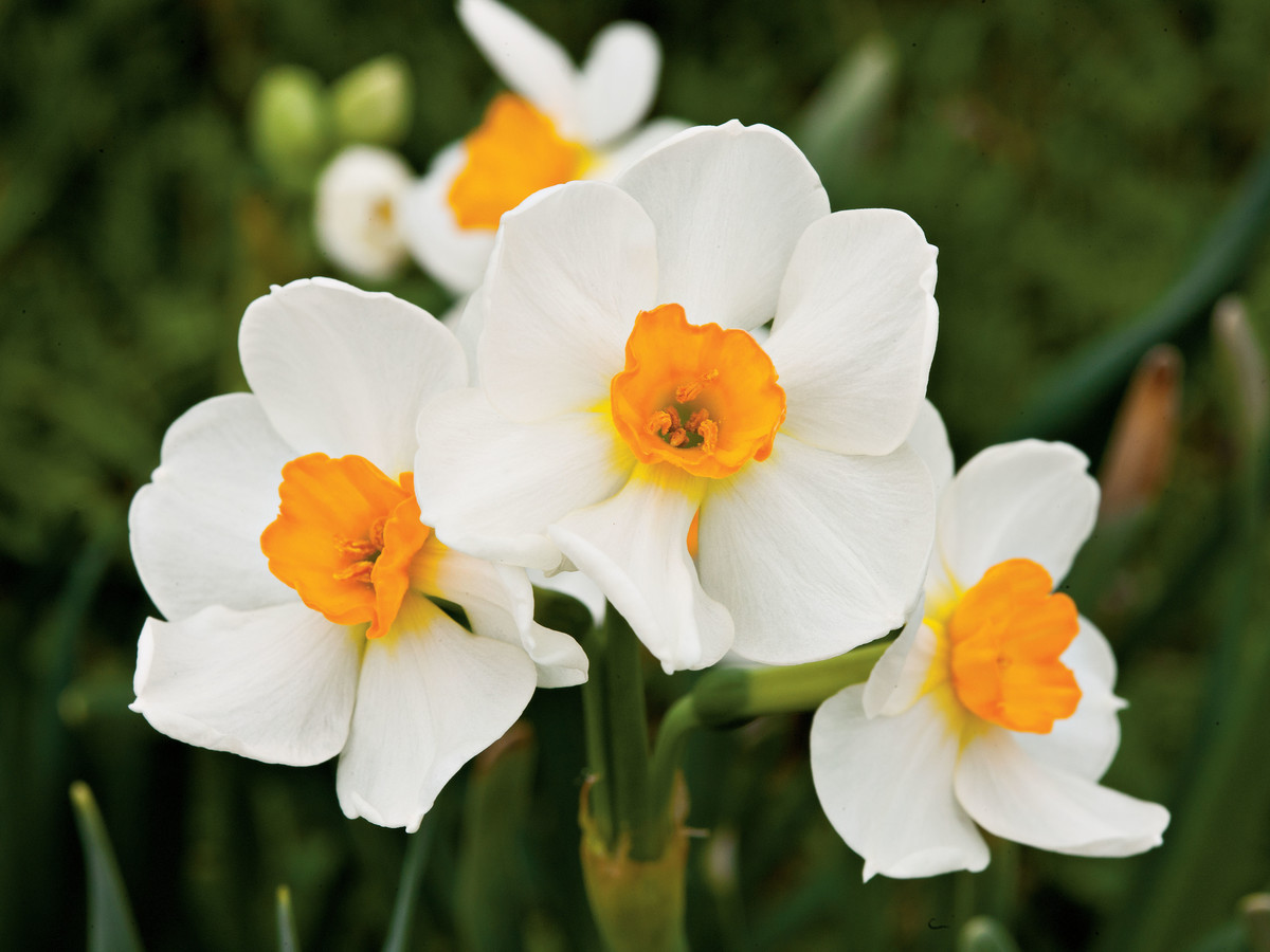 The complete guide to daffodils southern living daffodilessential southern plant mightylinksfo