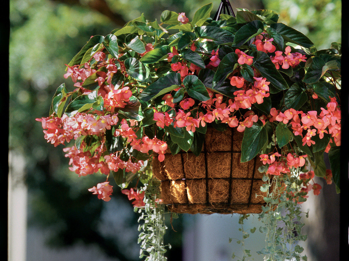Big Bloomers: Begonias