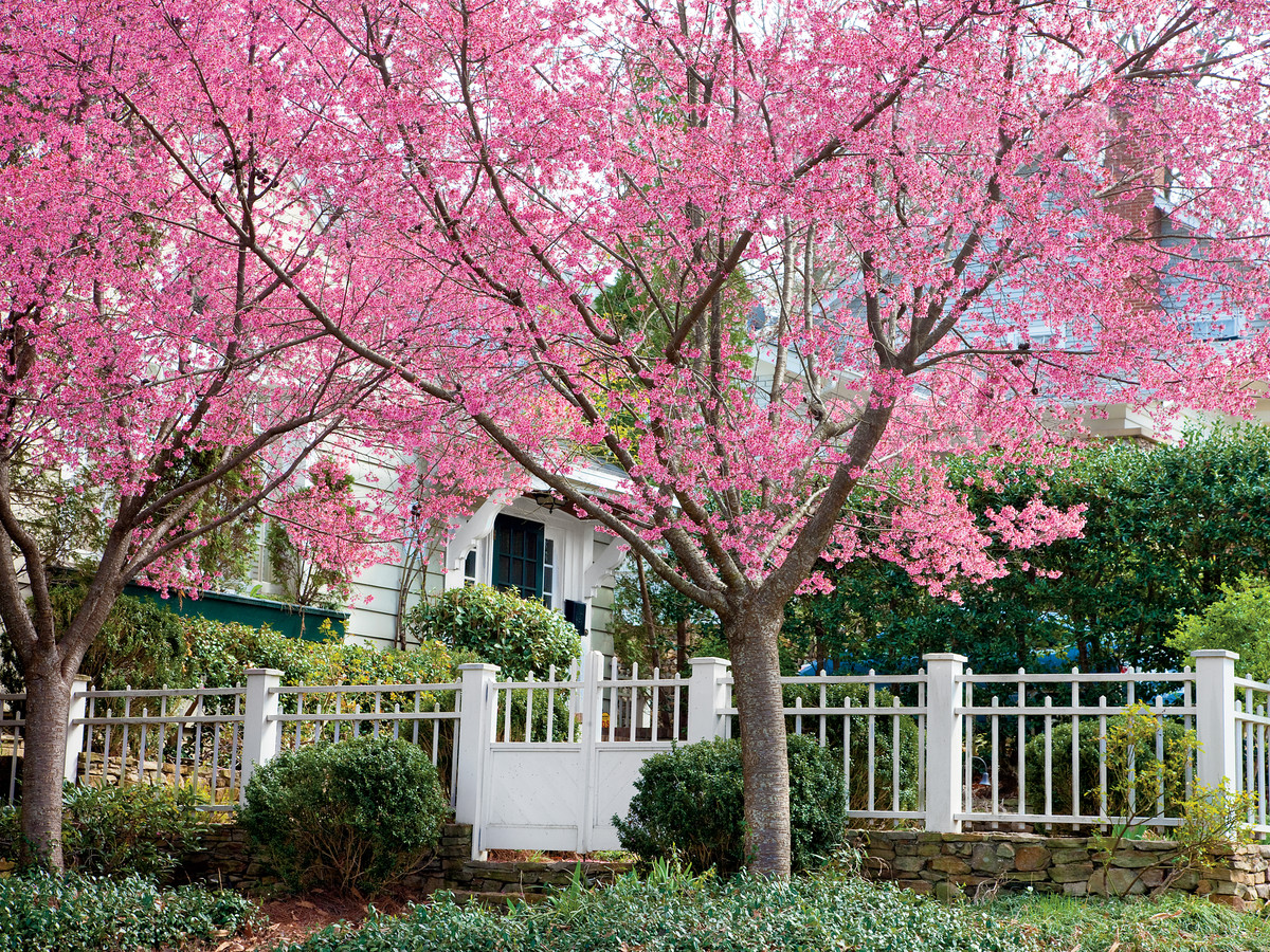 Cherry Blossom Trees Southern Living