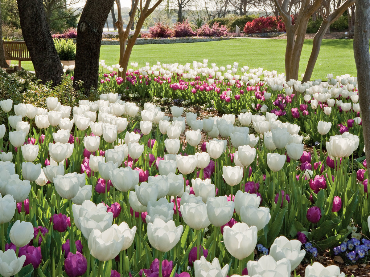 White & Purple Tulips