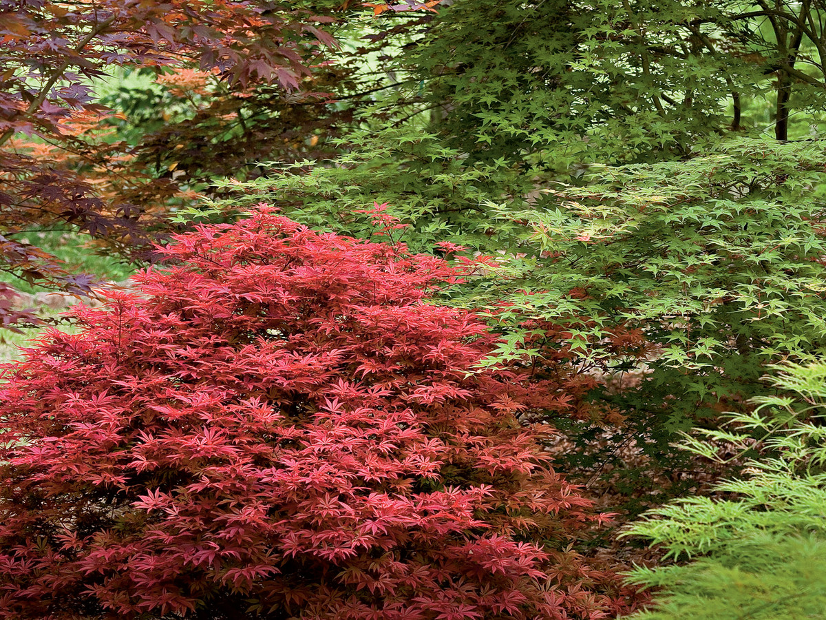 Gardening 101 japanese maple trees southern living for Maple trees for small gardens