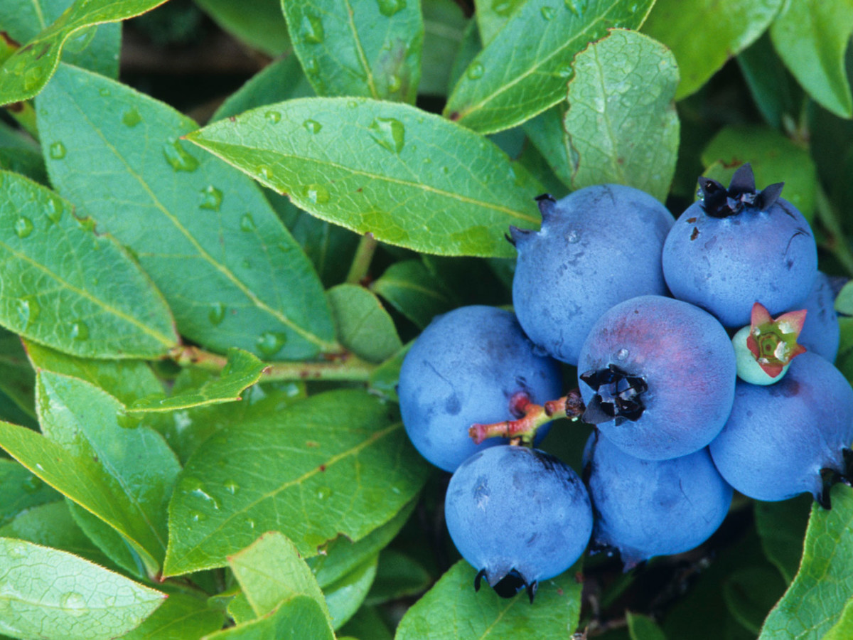 Grumpy Planting Blueberries Image