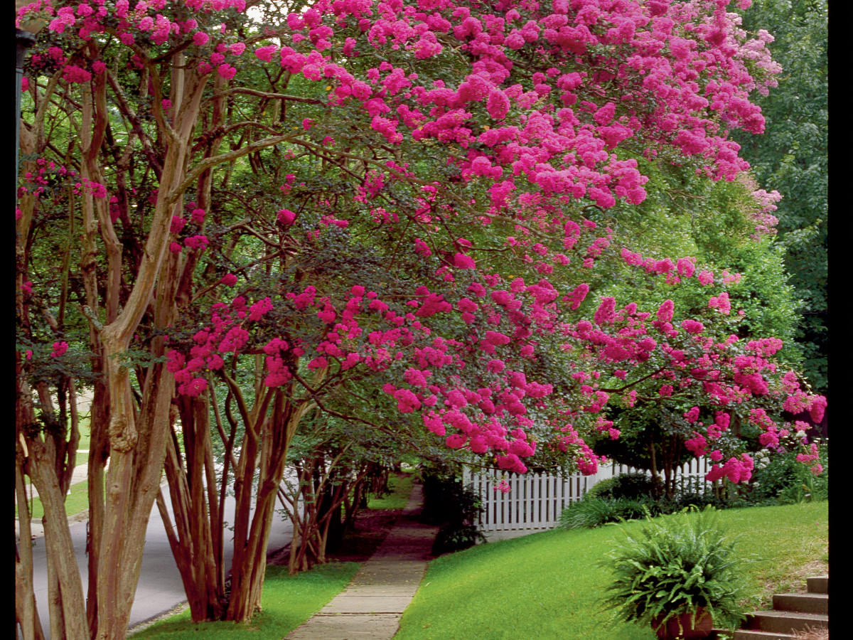 Beginner\'s Guide to Crepe Myrtle Care - Southern Living