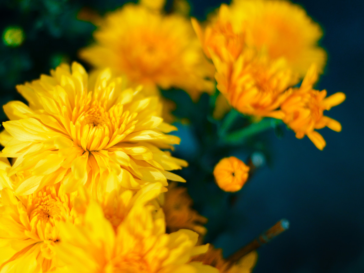 How To Grow Chrysanthemums Southern Living