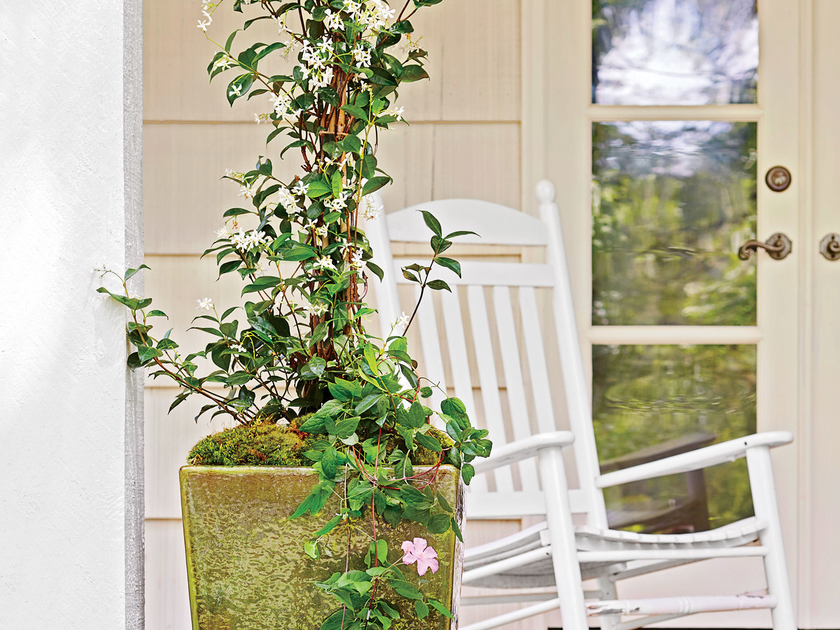 Clematis Vine and Confederate Jasmine Container Garden