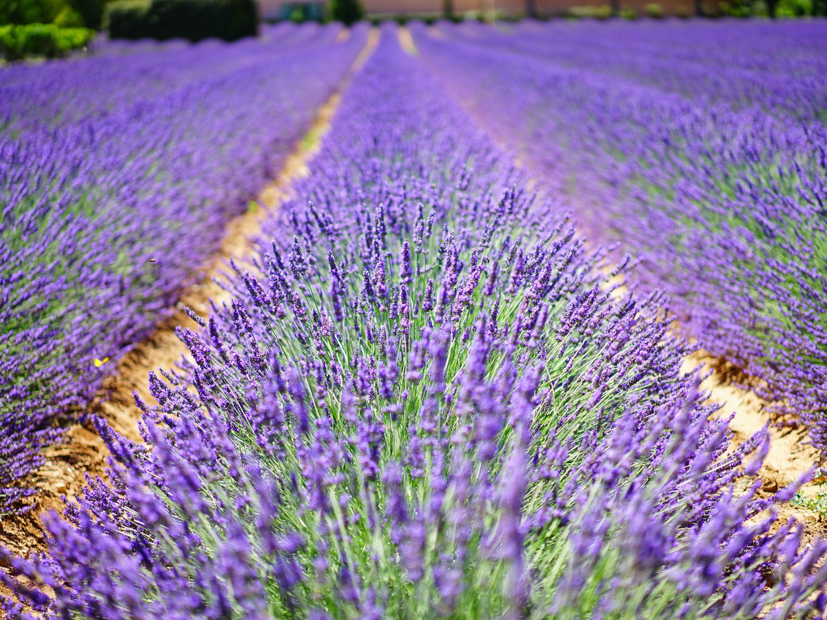 Here S Why You Should Visit Texas During Lavender Season Southern Living