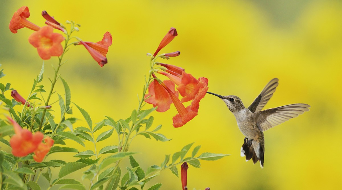Trumpet Creeper with Hummingbird