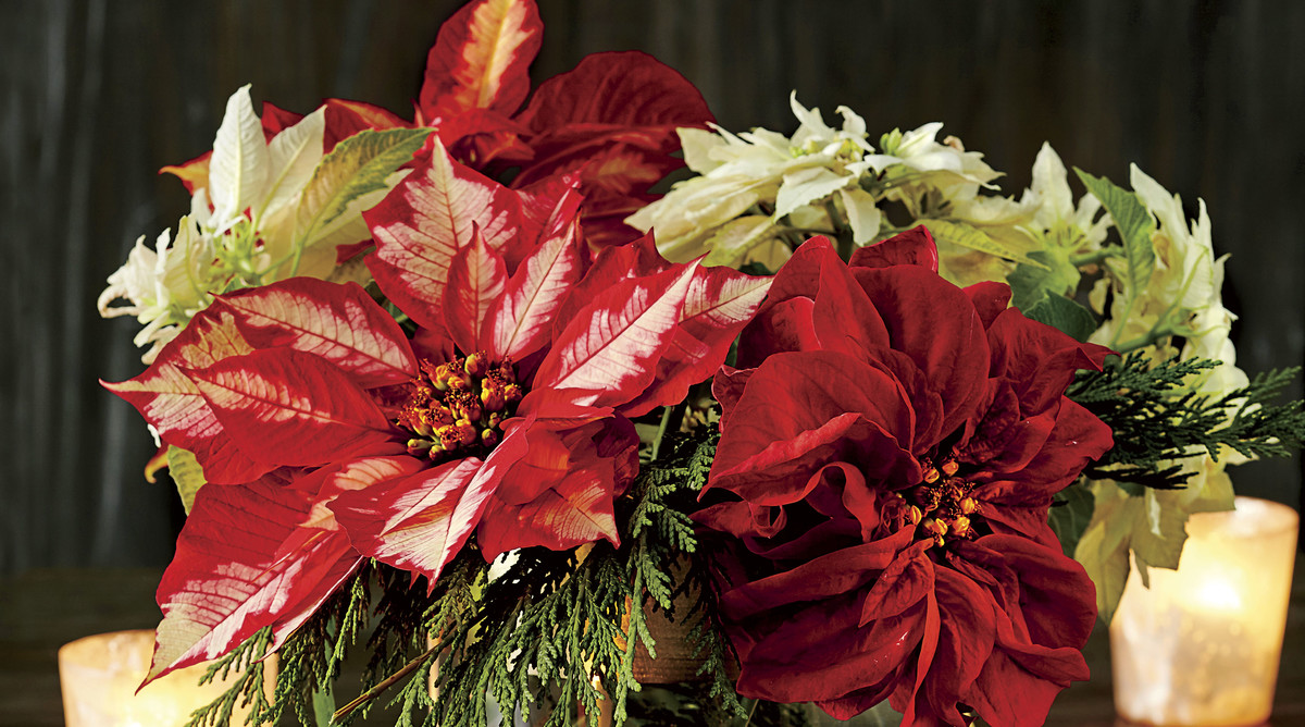 Clipped Poinsettia Christmas Centerpiece
