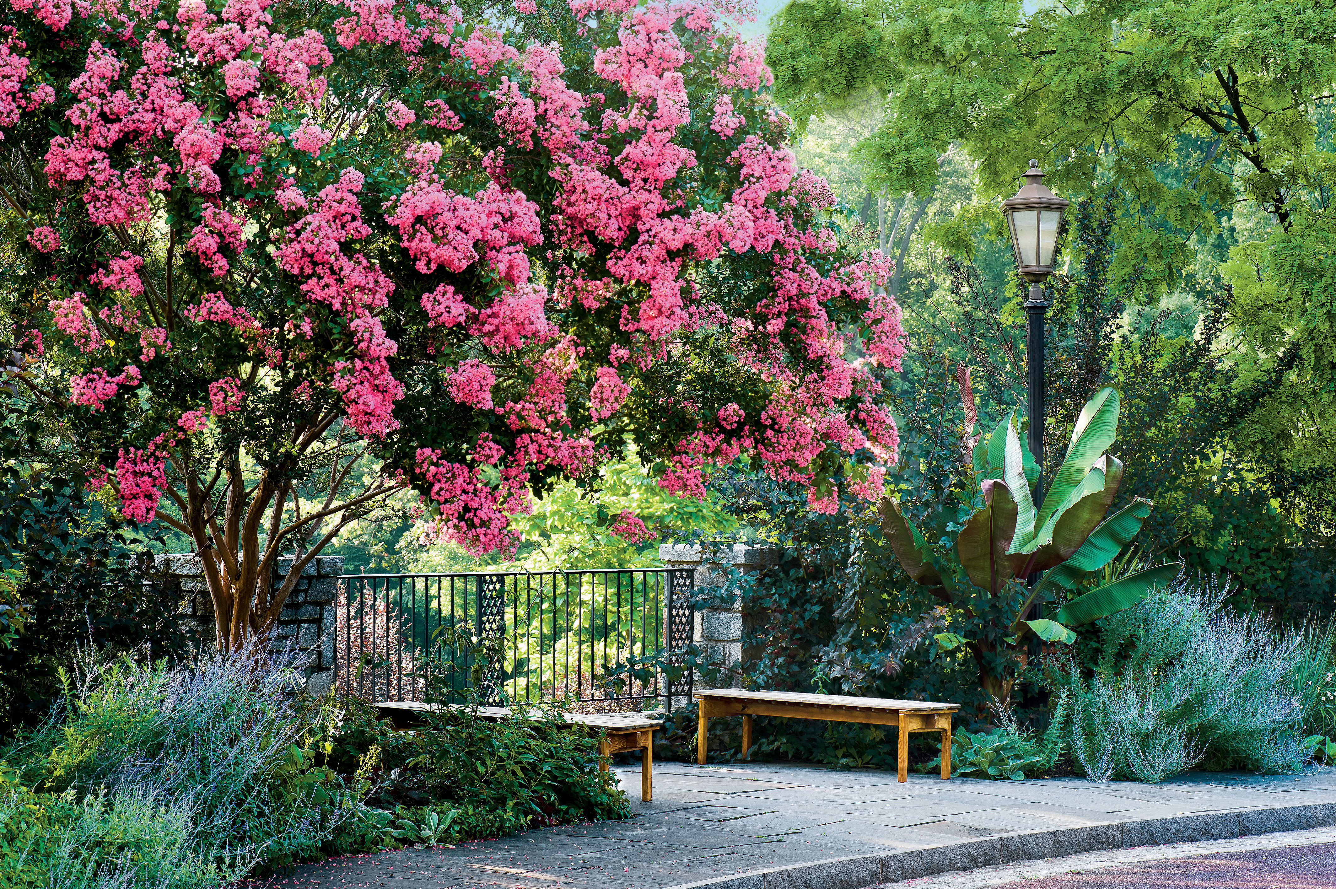 How to grow crepe myrtles lythraceae southern living nvjuhfo Choice Image