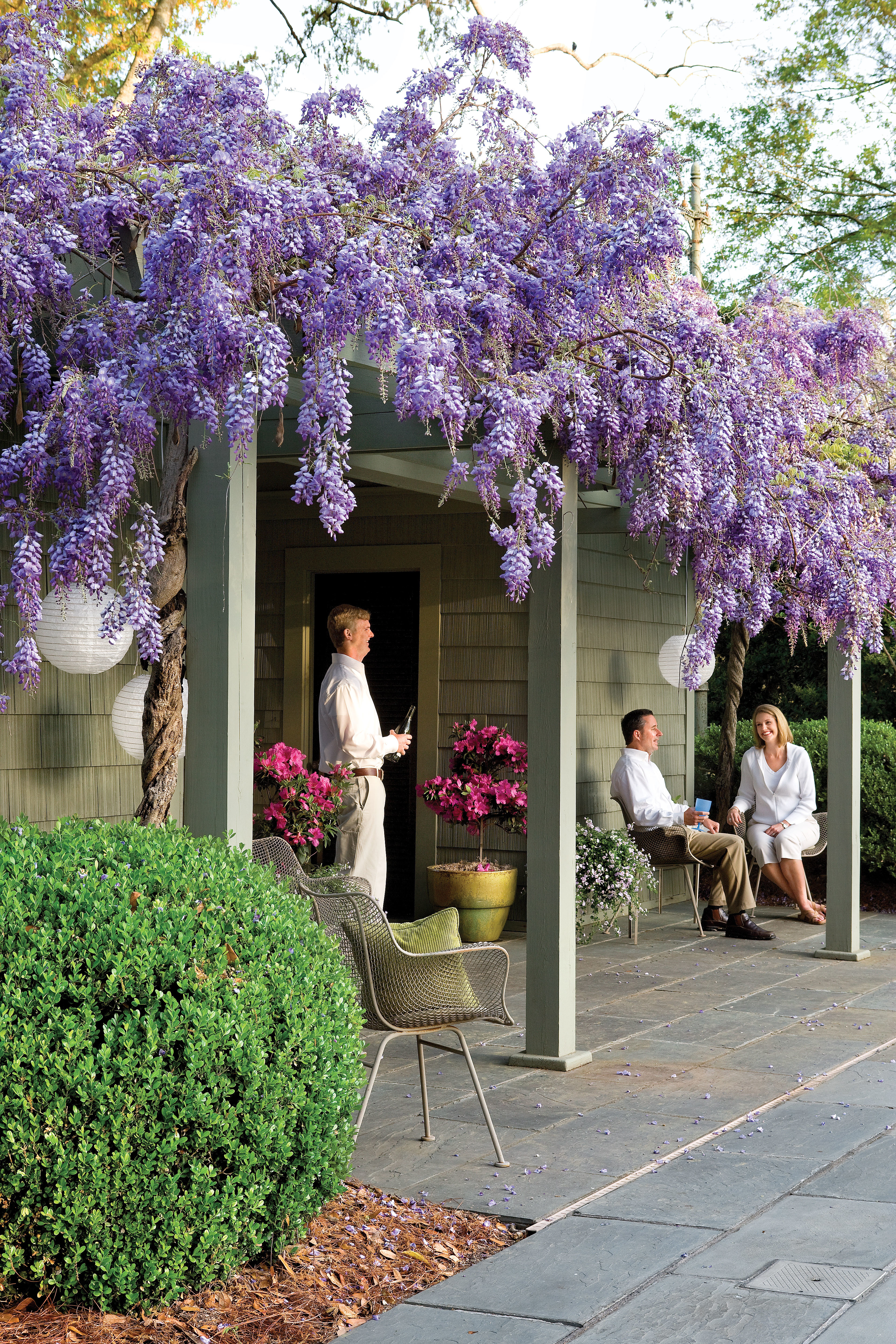 Wisteria Vines with Purple Flowers - Also Grow as Trees
