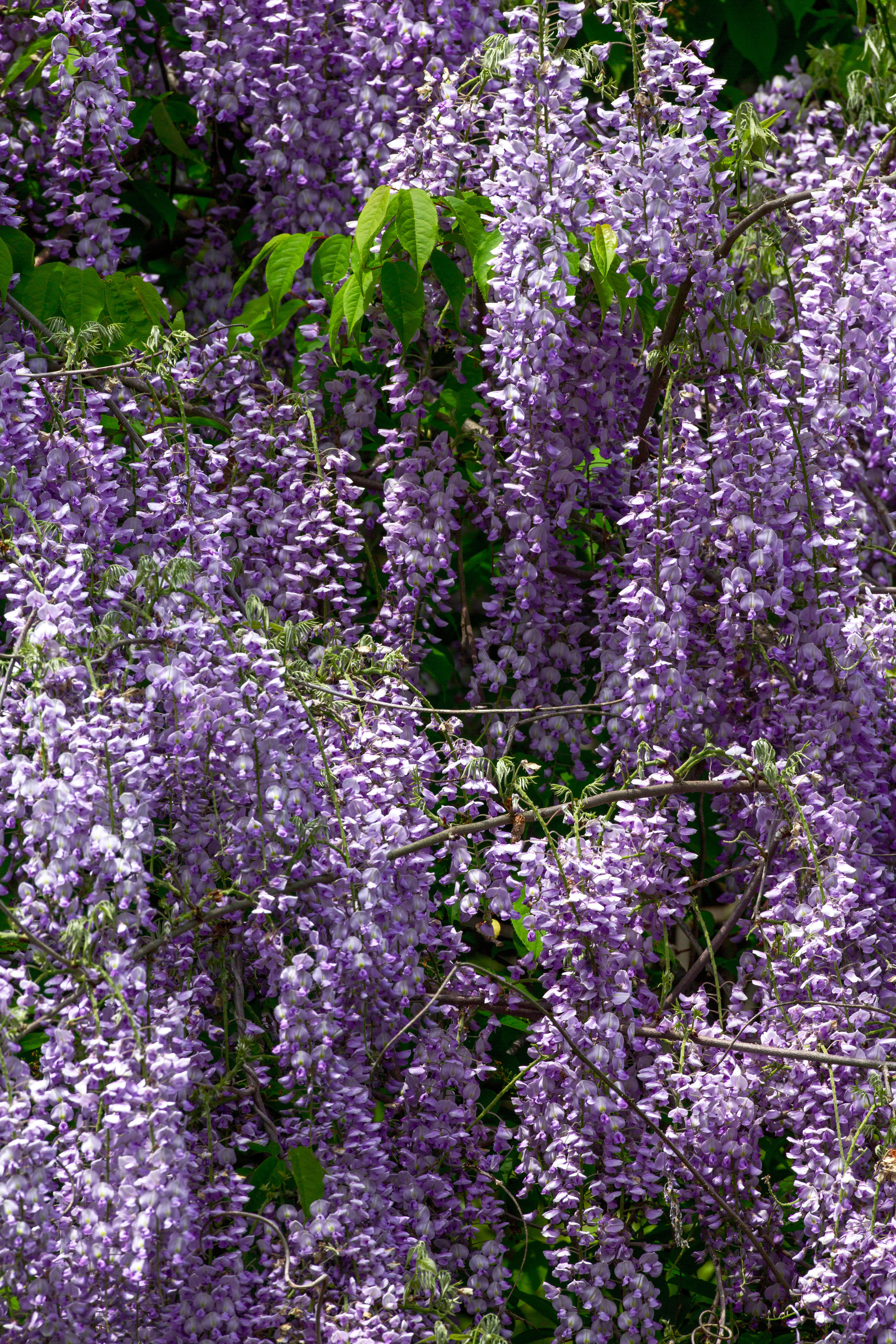 WATCH: Why We Love Wisteria