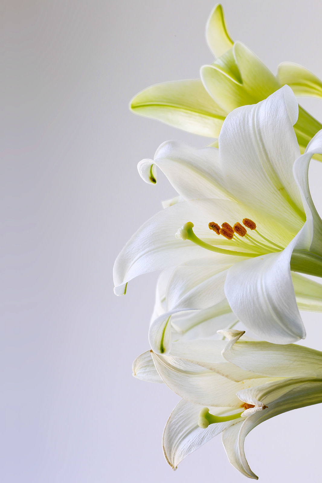 Everything You Need To Know About The Easter Lily