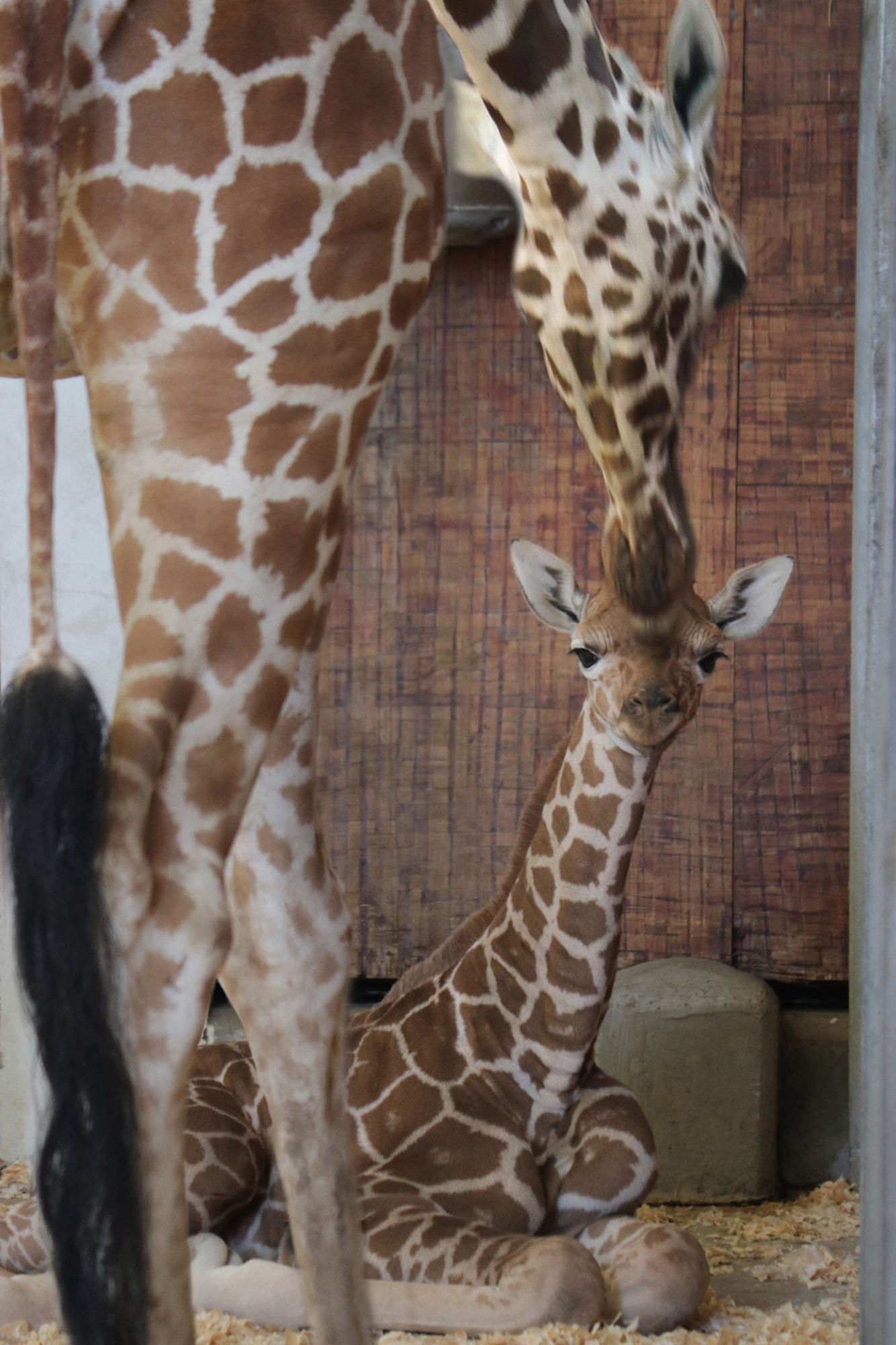 Dallas Zoo Baby Giraffe Up and Walking Just 45 Minutes After Being Born