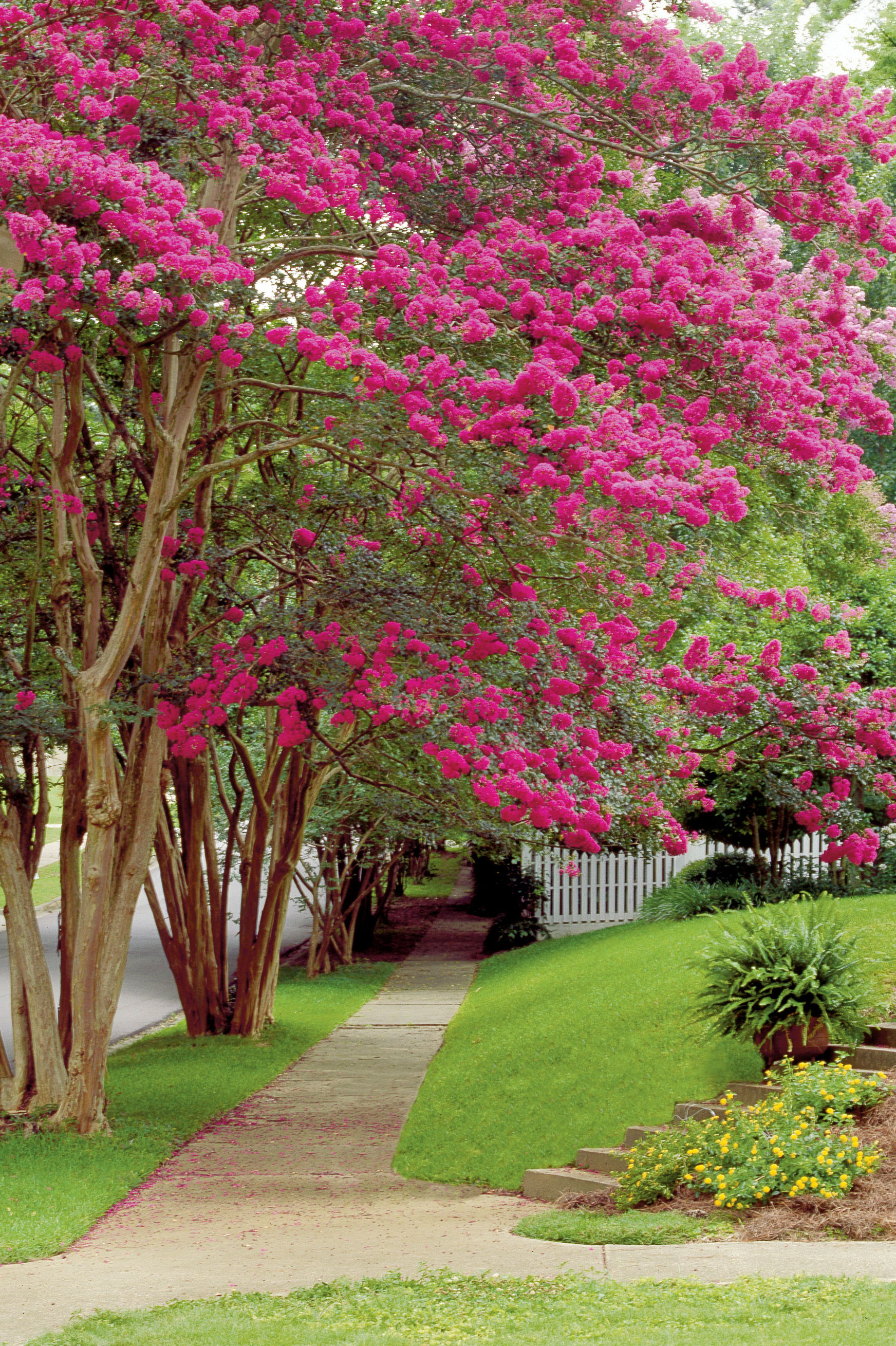 A Brief History of the Crepe Myrtle
