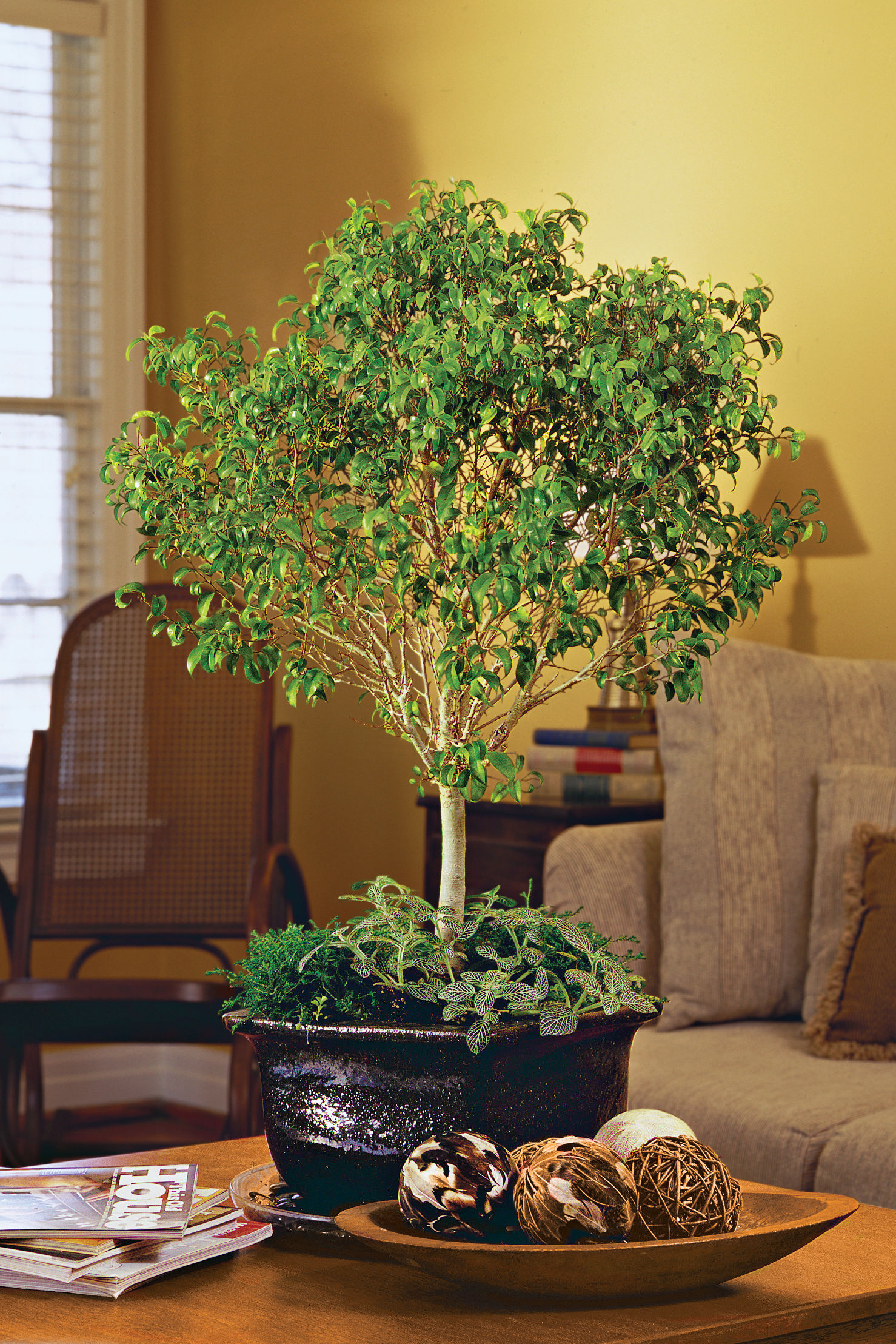 A New Face for Ficus