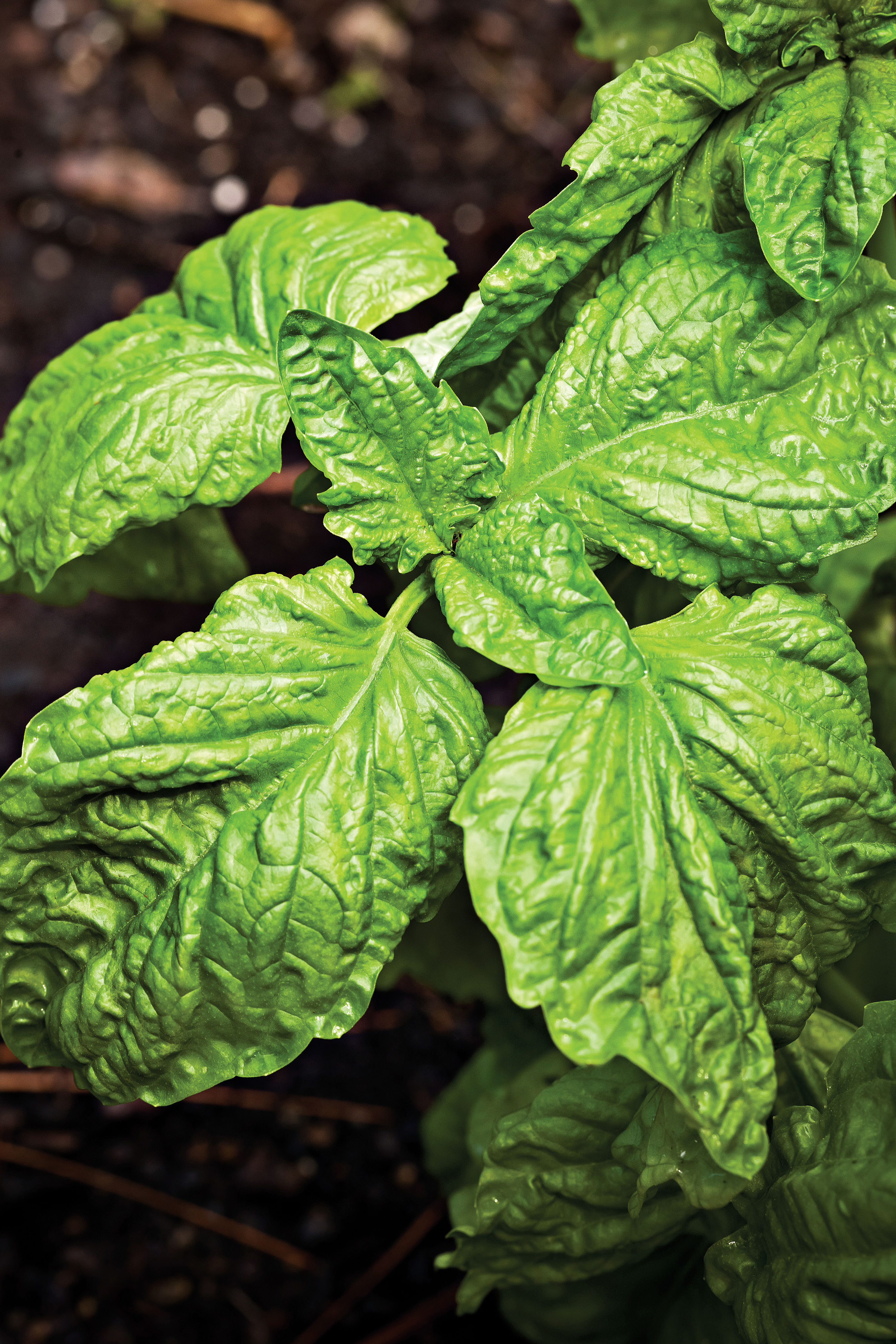 Flavor Your Summer with Basil