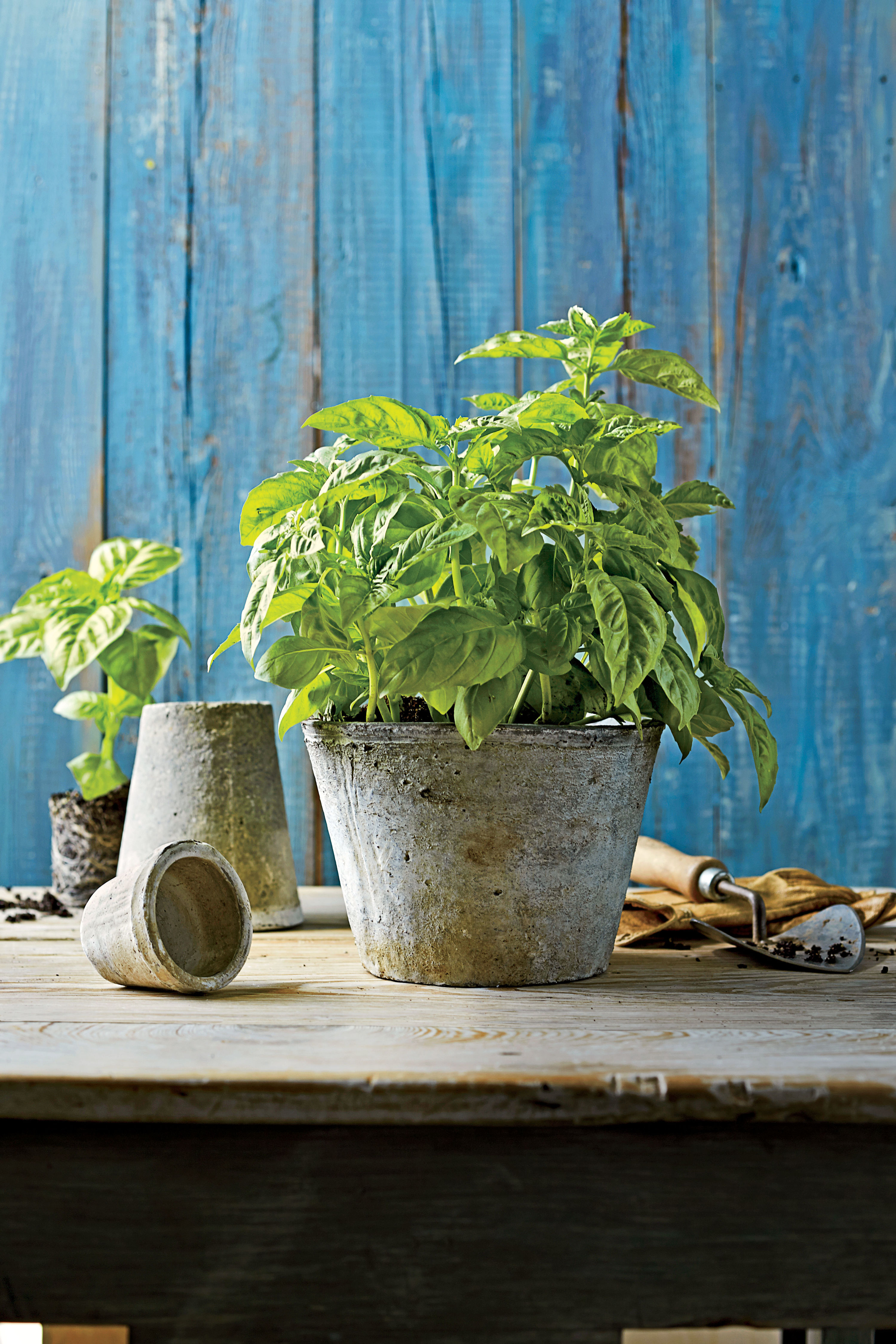 The 4 Types of Basil You Should Know