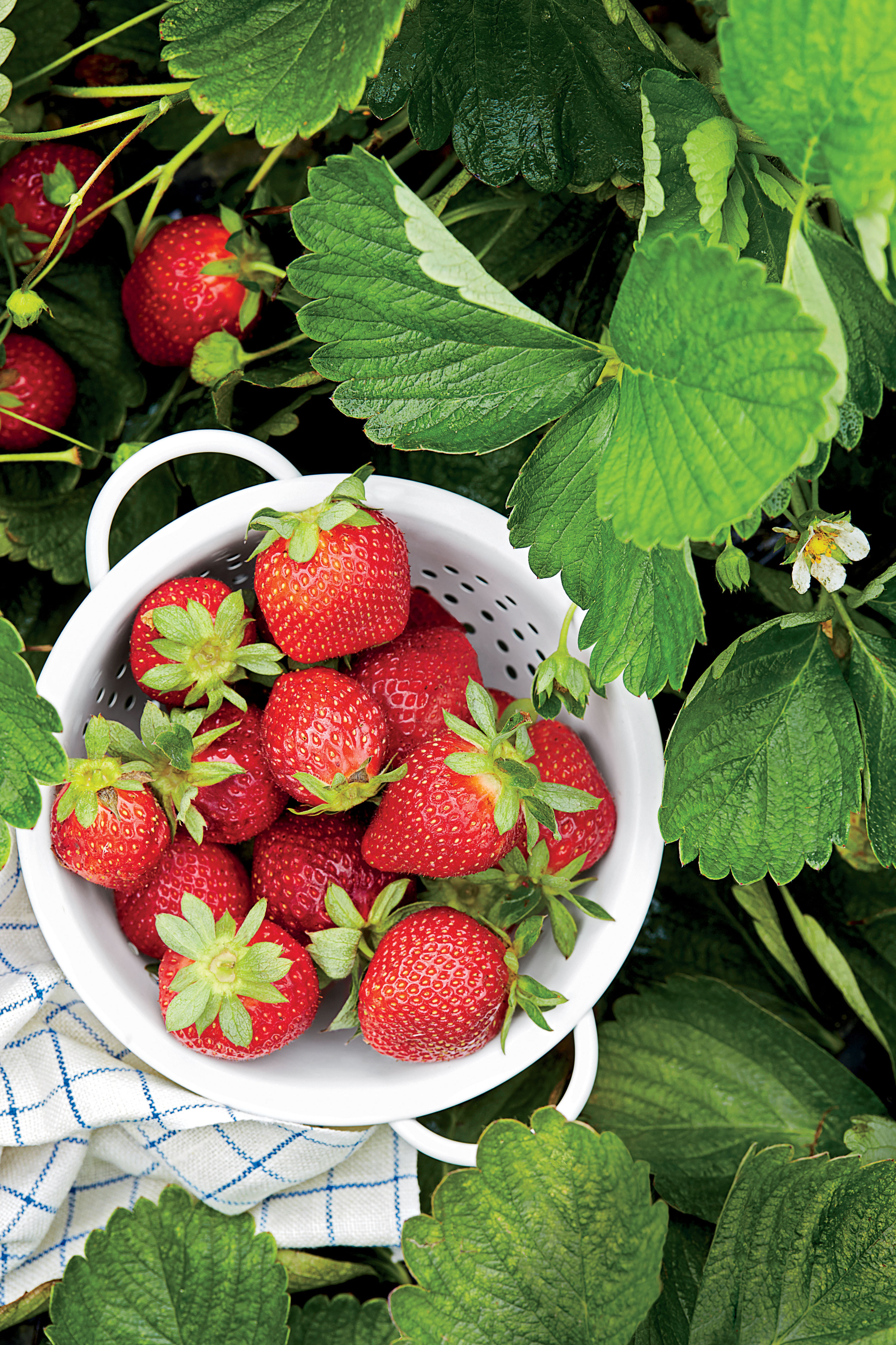 Why Fresh Strawberries are a Southern Favorite