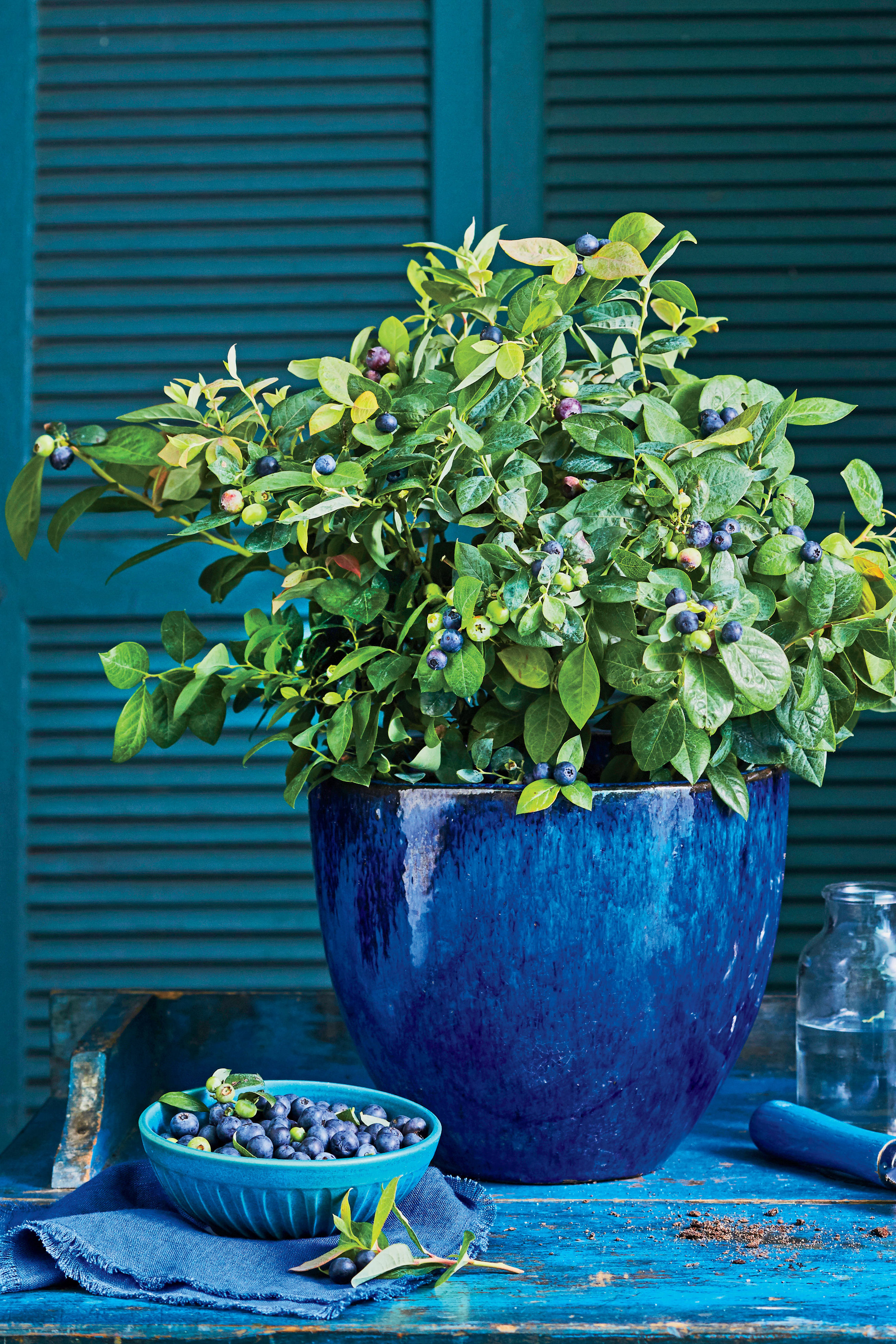 Did You Know You Could Grow Blueberries in Containers?