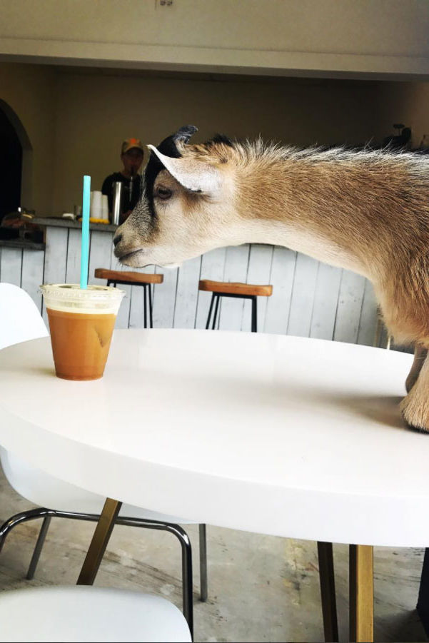 You Must See This Coffee Shop's Adorable In-House Goat