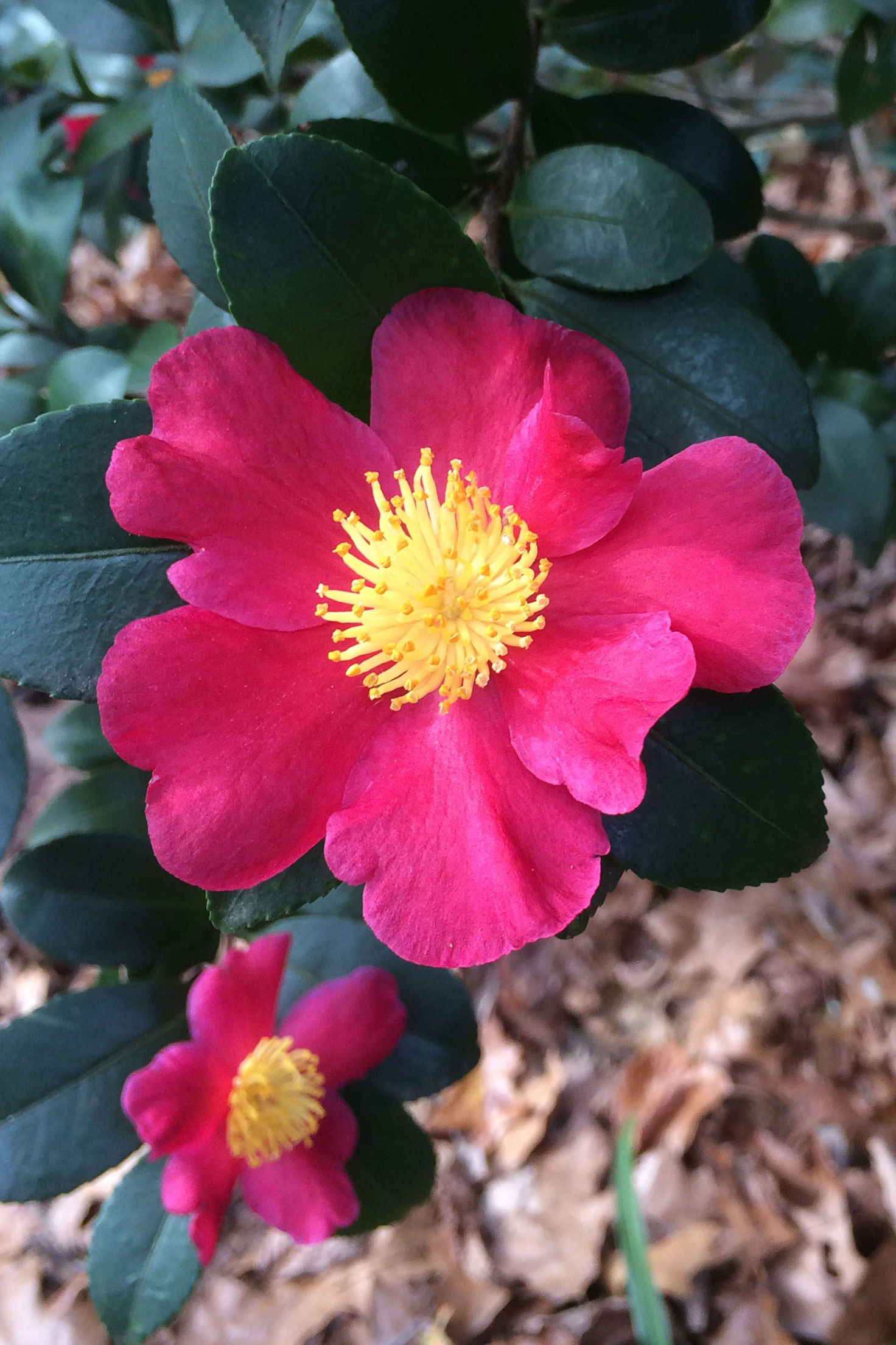 Control These Camellia Pests Naturally