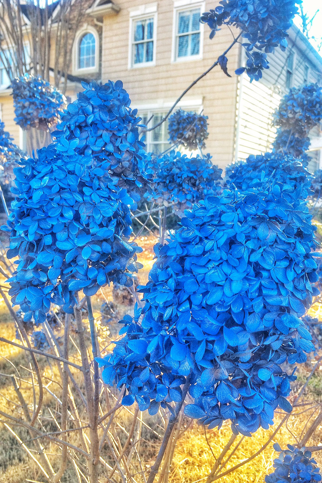 Blue Hydrangeas All Winter
