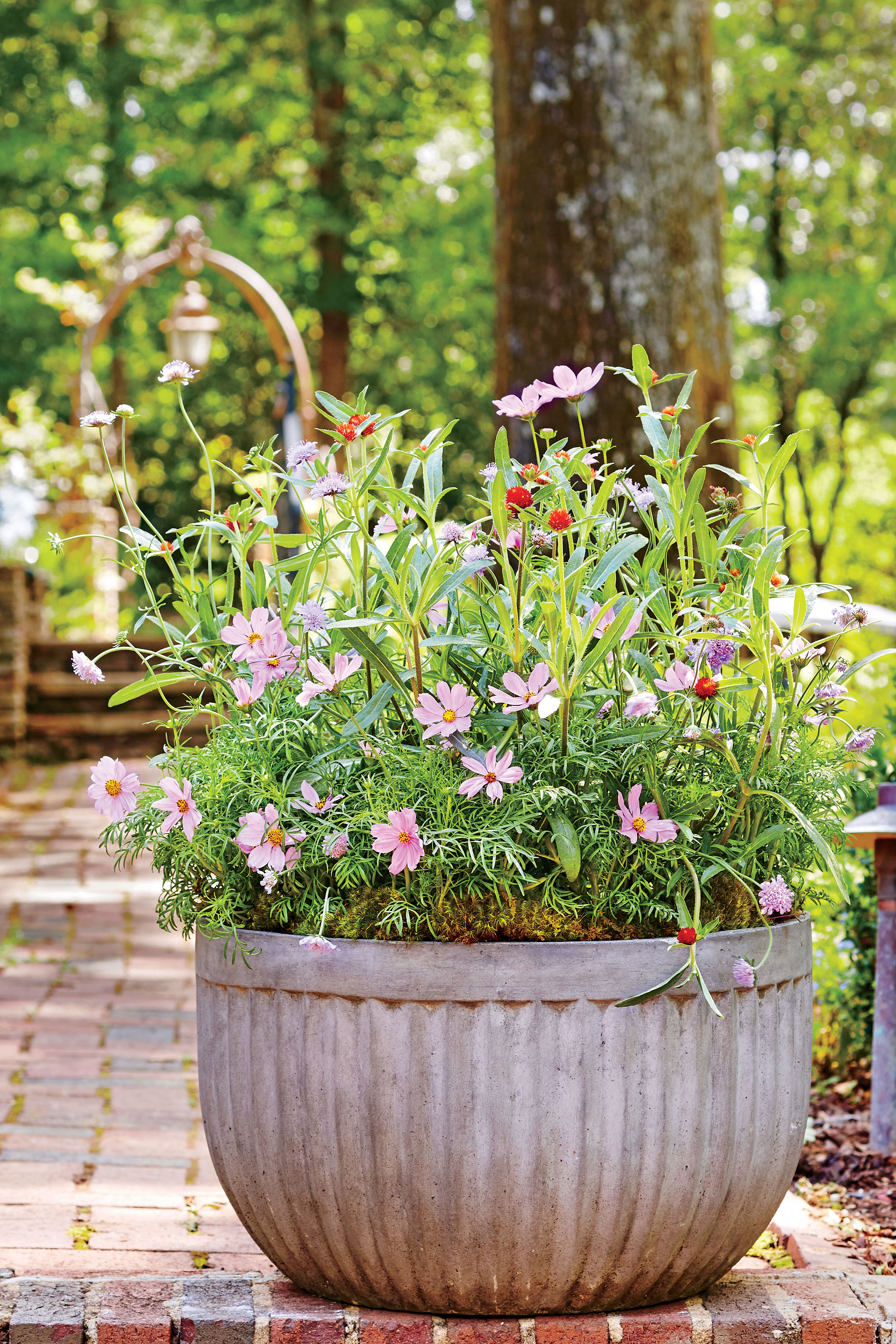 Yes, You Can Grow Cosmos in a Container
