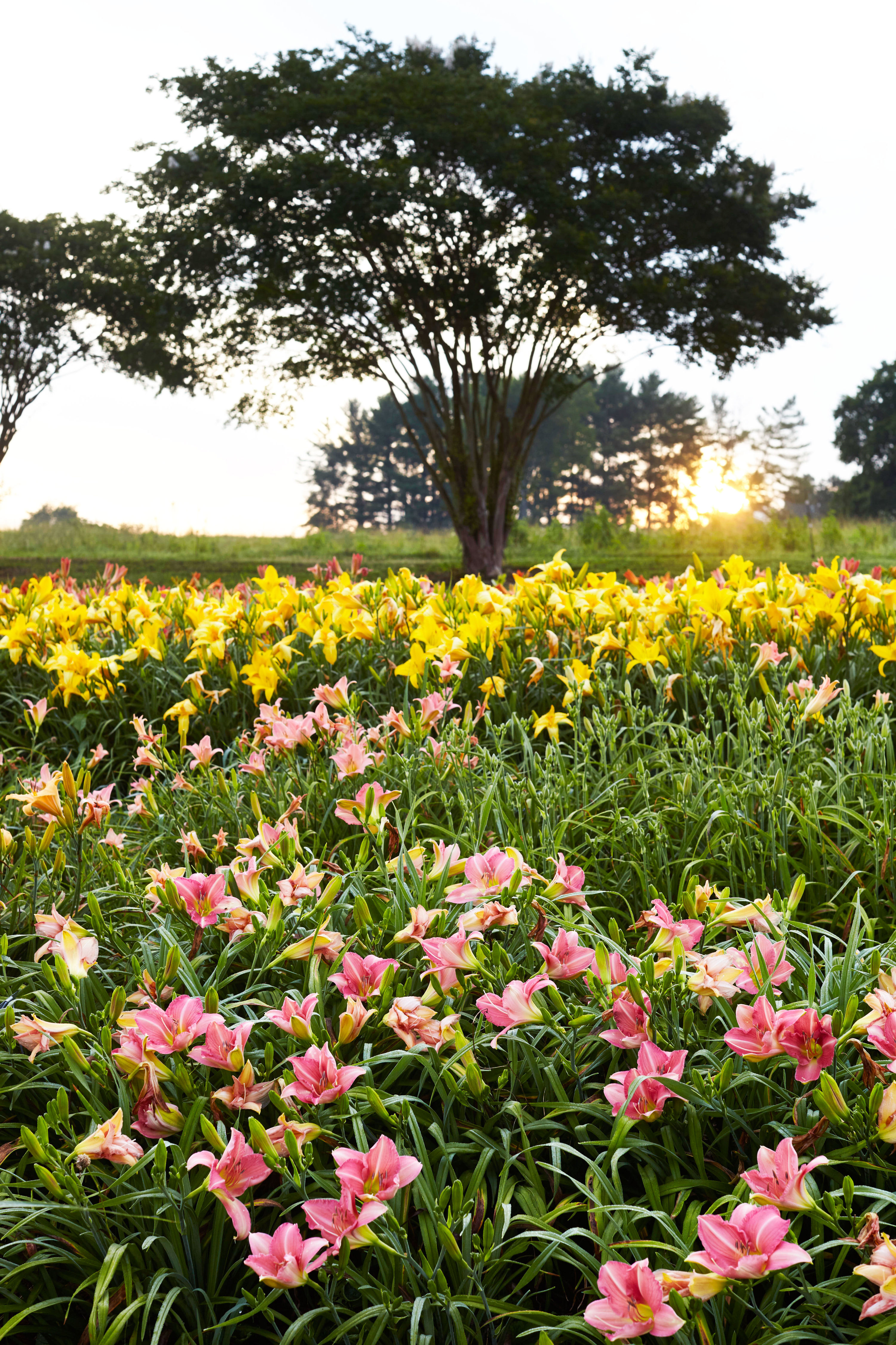 The Secrets to Growing Daylilies